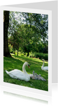 dierenkaart Zwanenfamilie