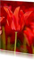 Kunstkaarten - Rode Tulp 7