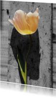 tulp met zw achtergrond-is