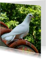 Dierenkaart Witte Sier-duif
