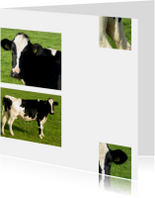 Koe in beeld