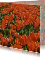 tulpenveld rood