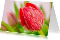 Rode tulp met druppels