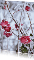 Ansichtkaarten - Ansichtkaart rozen winter sneeuw