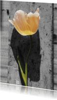 Bloemenkaarten - tulp met zw achtergrond-is