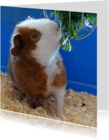 Dierenkaarten - Dieren knabbelende Cavia