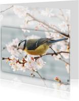 Zomaar kaarten - Lentebloesem - pimpelmees
