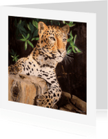 Dierenkaarten - Stoere Panter - Luipaard - kunstkaart
