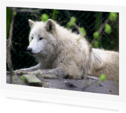 Dierenkaarten - Dieren Fotokaart witte wolf