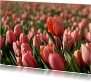Bloemenkaarten - Rood roze tulp in tulpenveld OT