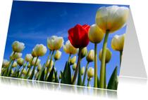 Zomaar kaarten - Prachtige Hollandse tulpen