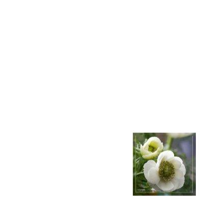 witte anemonen 3