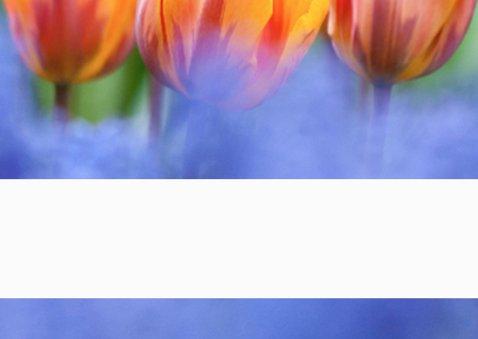 Oranje boven met tulpen 3